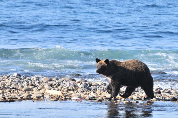 秋に海岸線を歩くヒグマ。シロザケやカラフトマスを食べ、ふくよかになったヒグマ。ヒグマが海岸線を歩く光景は、知床では珍しくない。