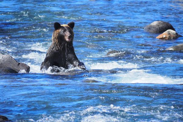 河口でカラフトマスを探すヒグマ。